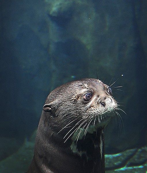 A giant river otter looks out of its enclosure at the Rivier Safari in Singapore. The giant river otter is  the world's largest otter species.