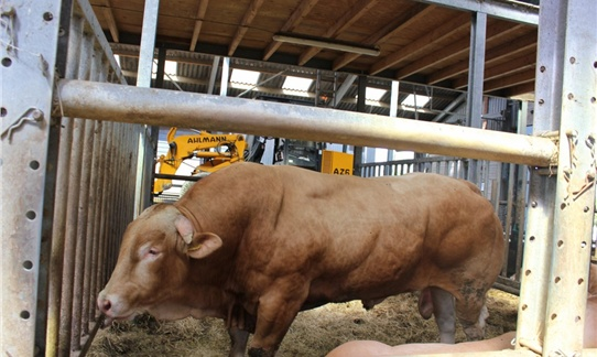 Een enorme imposante stier van boer Jan op FarmCamps Mariekerke