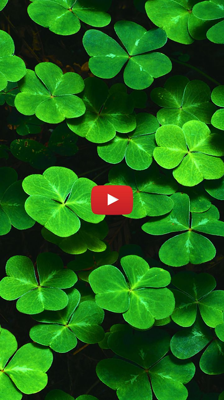 Lucky Four Leaf Clover Wallpaper Four Leaf Clover Photography Nature Four Leaf Clover Background In 2020 Live Wallpapers Clover Leaf Four Leaf Clover