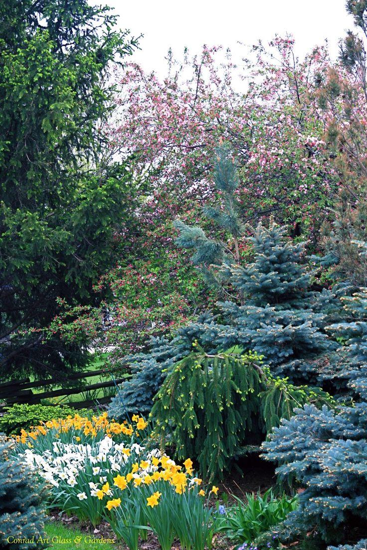 132 best garden conifers images on pinterest evergreen garden