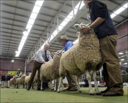 Sheep being judged at the Bendigo Sheep and Wool Show in Australia