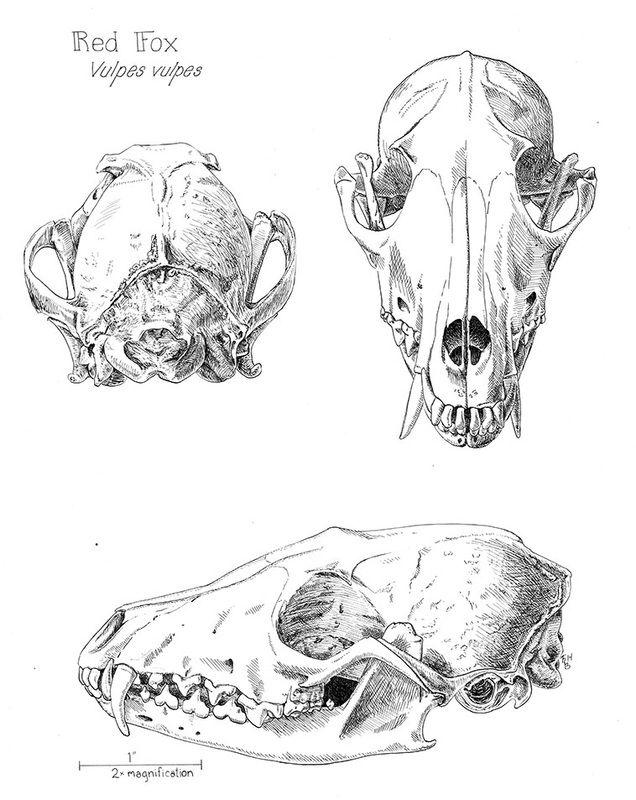 Picture Skulls In 2019 Pinterest Skull Anatomy Animal Bones
