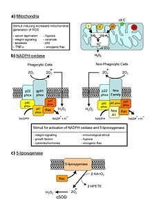 Oxidative Stress: Reactive oxygen species, such as O2 and H2O2