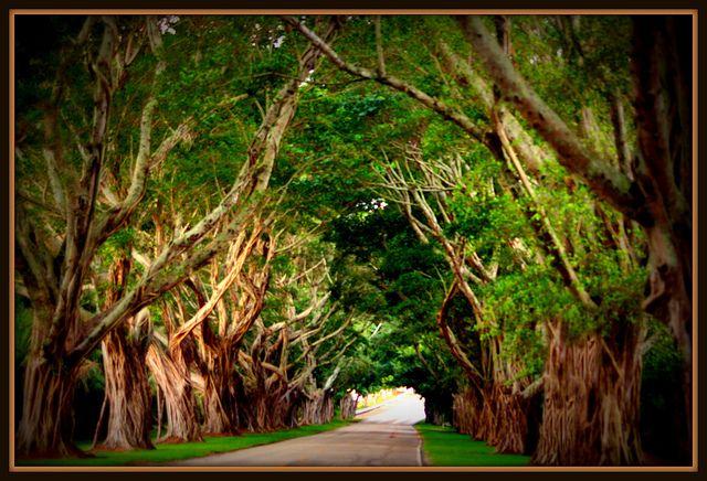 bridge road hobe sound fl   banyan tunnel bridge road hobe sound florida such a wonderful route ...