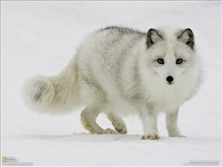 renard blanc - Recherche Google