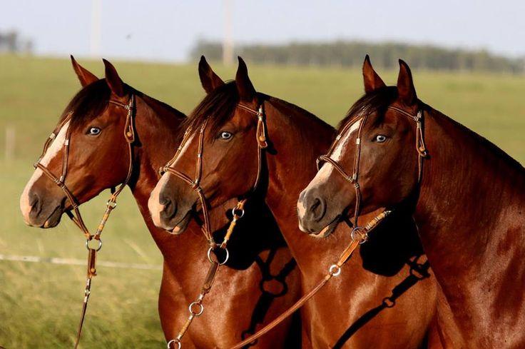 (91) Cavalo Crioulo