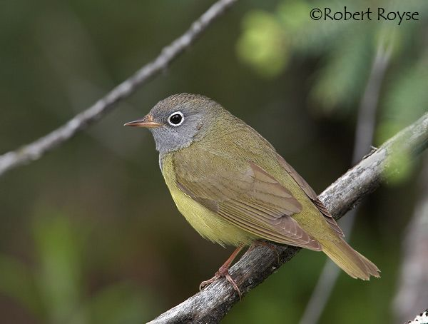 Connecticut Warbler (Oporornis agilis) - found in PA during migration only.