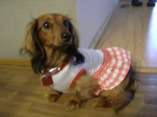 My longhair miniature dachshund Lila.: Doxies Extra, Doxie Dachshund, Sweet, Dogs, Miniatures Dachshund, Longhair Miniatures, Doxies Rocks, Delightful Doxies, Clothing Puppies