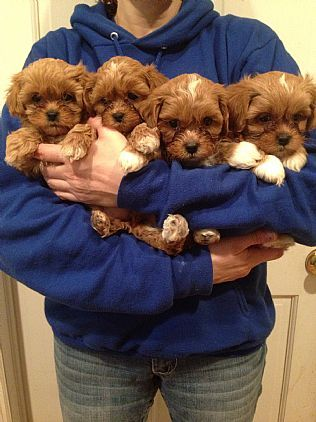 Shipoo Pet Dog Puppies For Sale in NY Want Ad Digest