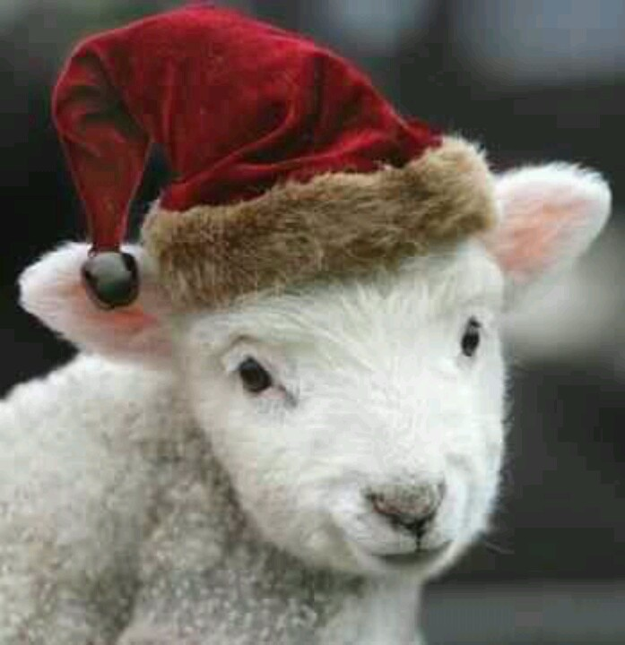 17 best southdown babydoll miniature sheep images on for Christmas pictures of baby animals