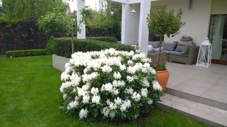 Rhododendron 'Cunningham`s White'