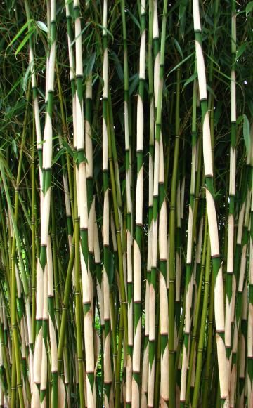die besten 78 ideen zu fargesia auf pinterest bambou. Black Bedroom Furniture Sets. Home Design Ideas