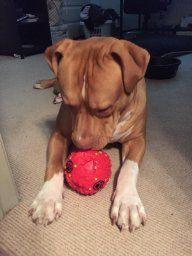 I stunning looking pitbull enjoying his Teeza Treat Ball.