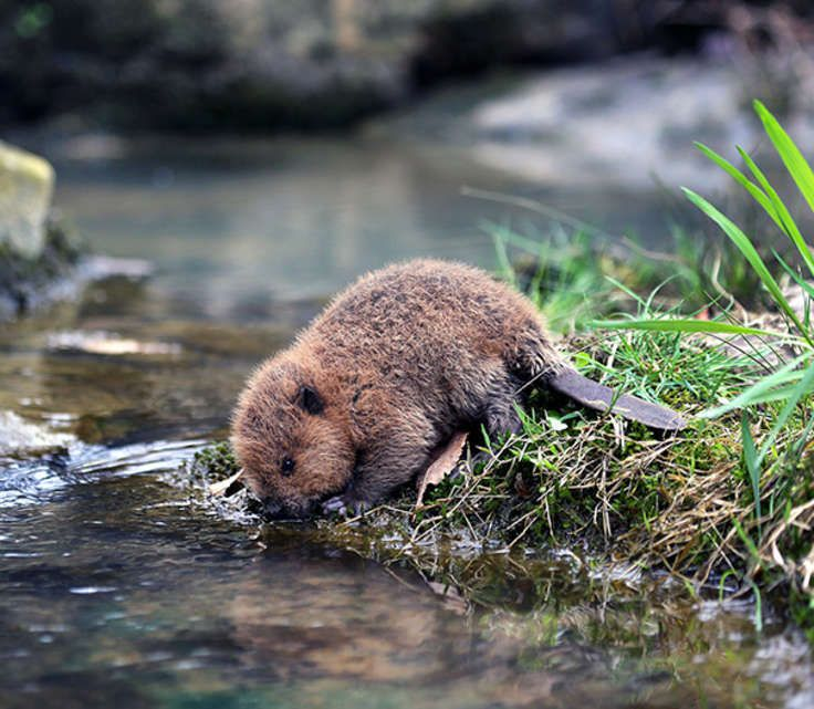 Incredibly cute baby beaver just came to get a drink of water!