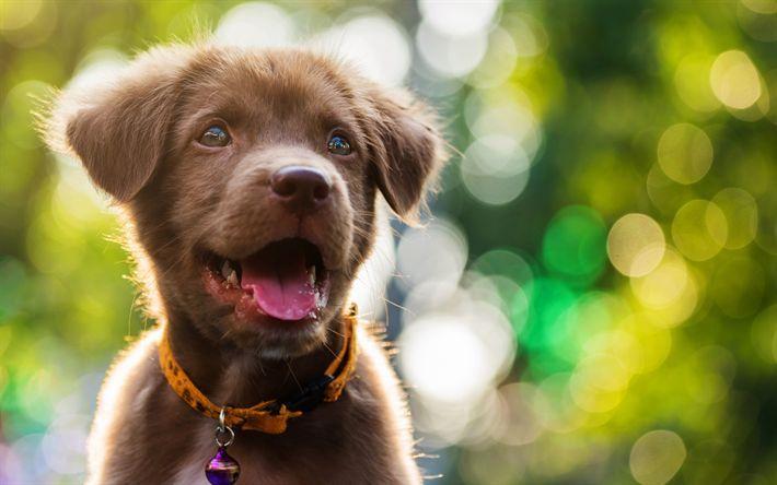 Download Wallpapers Small Brown Labrador Puppy Retriever Cute Little Animals Dog Breeds Bokeh Blur Labrador Retriever Brown Labrador Puppies