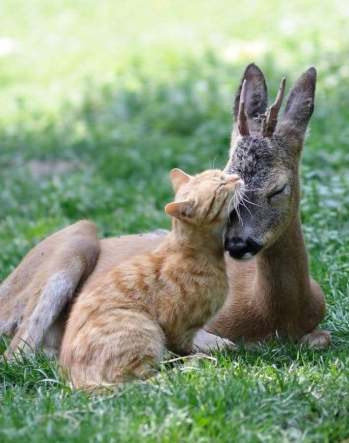 Adorable love between cat and deer
