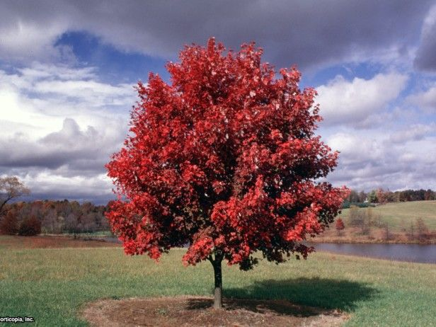 'october glory' maple perfect
