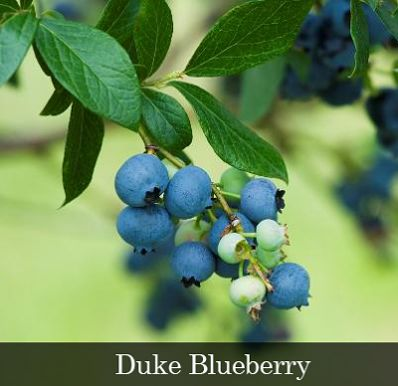 3-in-1 Blueberry Bush - Vaccinium for Sale - Brighter Blooms Nursery