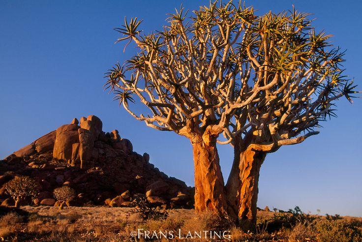 Quiver tree, Aloe dichotoma, Richtersveld National Park, South Africa