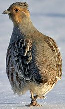 Perdrix grise  Grey partridge