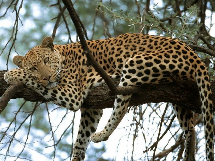 Cheetah Rest In Tree | Most Beautiful Images