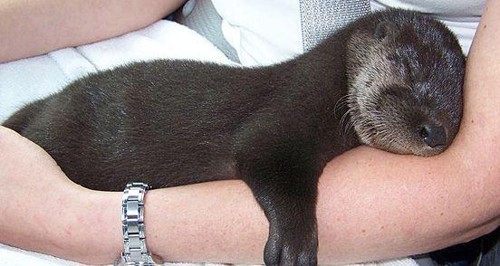 Adorable Sleepy Otter