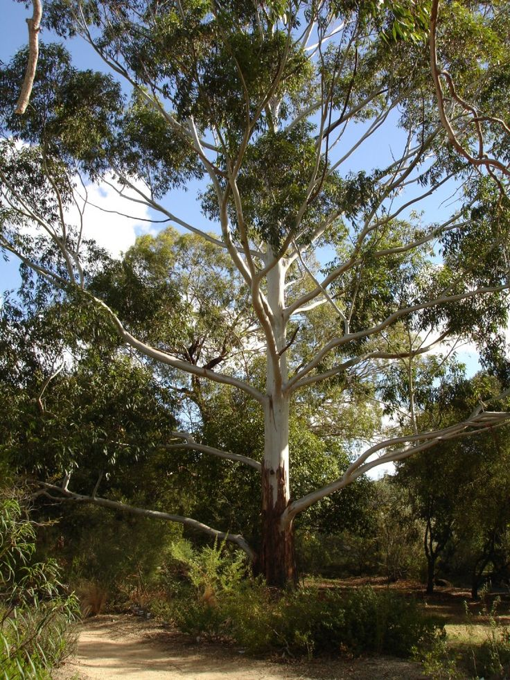 Eucalyptus grandis aka flooded gum or rose gum
