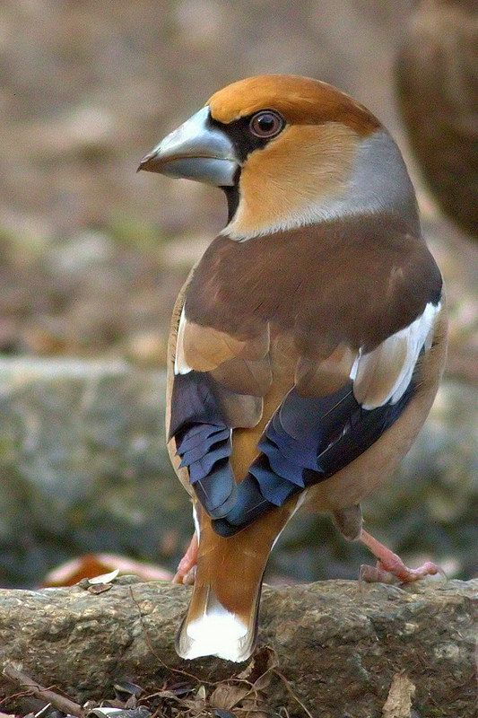 Hawfinch Coccothraustes coccothraustes, a passerine in the finch family endemic to malaysia.