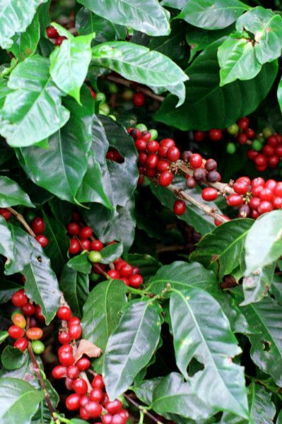 Costa Rica Coffee Tours