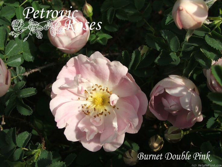 'Burnet Double Pink' Rose Photo
