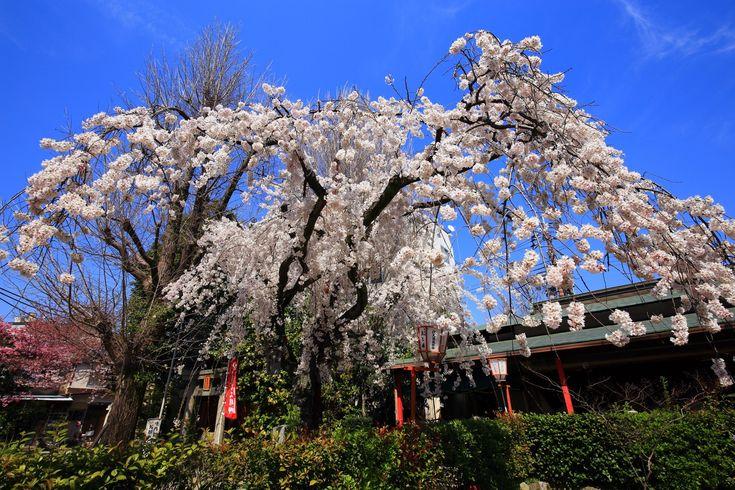 桜の名所の長建寺のしだれ桜