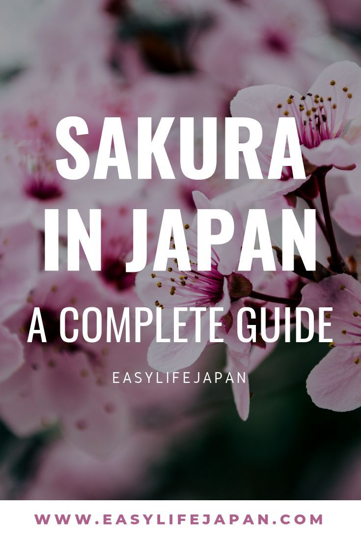 All You Need To Know About Cherry Blossom Easy Life Japan Sakura Tree Japanese Cherry Japanese Cherry Blossom