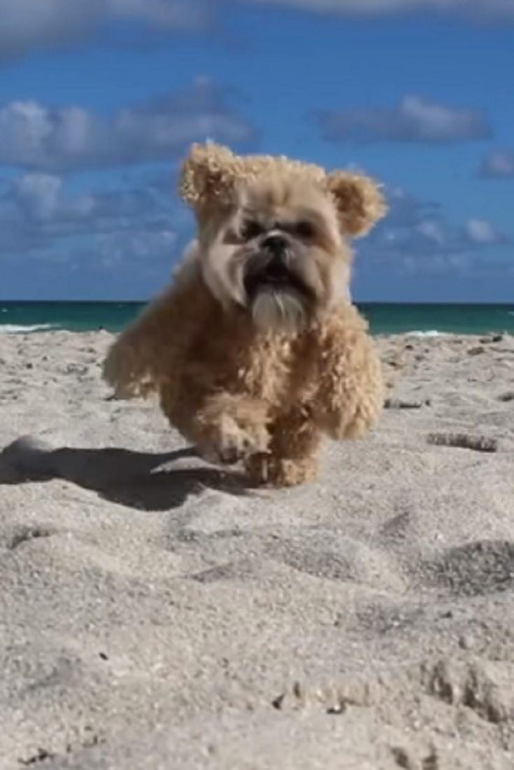 Munchkin In Miami Video Miami Munchkin Pets Animals Dogs Beach California Big Dog Little Dog Cute Animals Little Dogs
