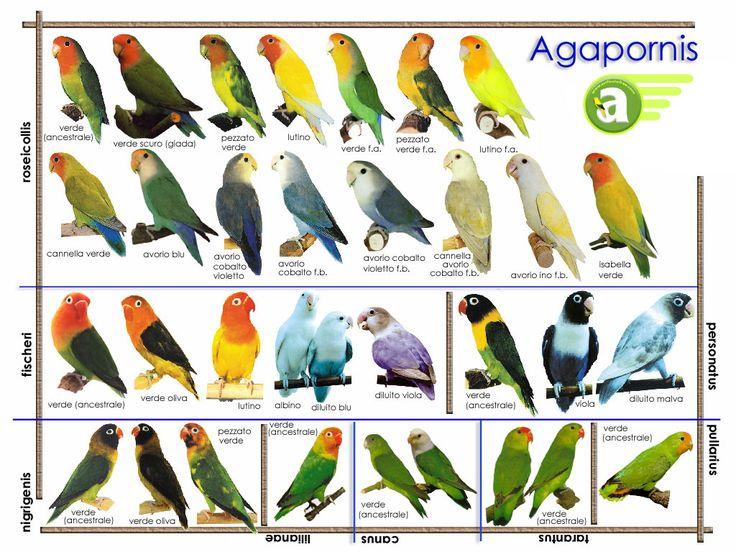 Tipos de especies de agapornis - Taringa!