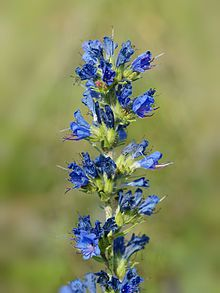 Echium vulgare (Viper's Bugloss or Blueweed)[1] is a species of Echium