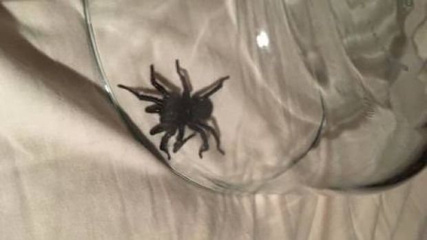 #Funnel web spider bites Southern Highlands woman in bed - The Sydney Morning Herald: The Sydney Morning Herald Funnel web spider bites…