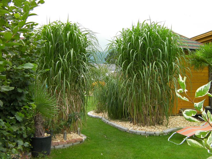 Miscanthus sinensis 39 giganteus 39 giant maiden grass can for Giant ornamental grass