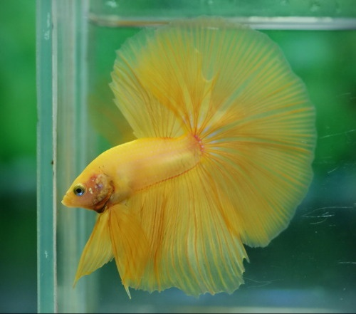 Beautiful yellow betta!