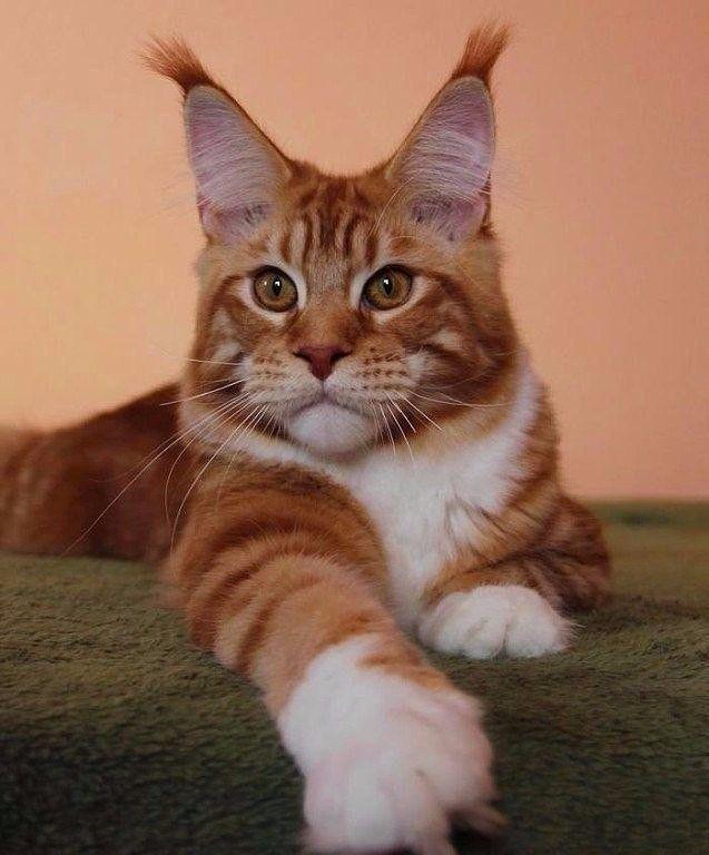 кошки с кисточками на ушах фото бизнеса том