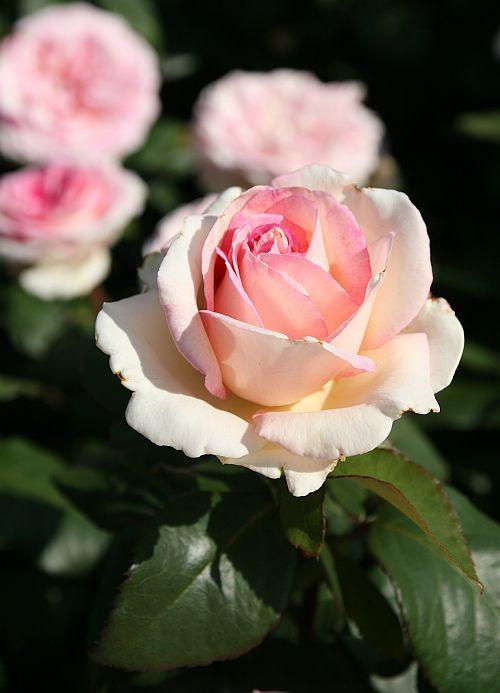 """'Souvenir de Baden Baden """" ~ Hybrid Tea rose"""