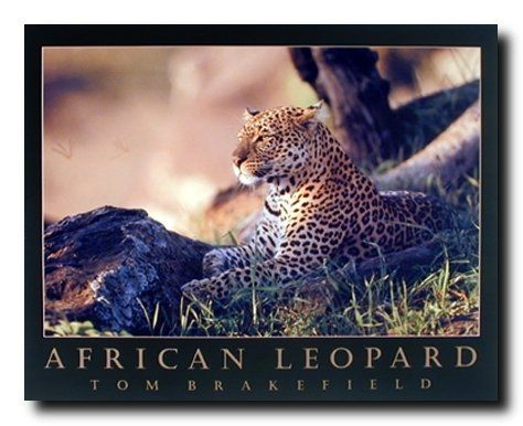 If you are looking for a way to include some African wildlife in your room without endangering your life then how about settling for a photography poster! Leopards are strong, beautiful creatures with dignity and will make good dorm wall decorations and be a profound influence on your dorm room.