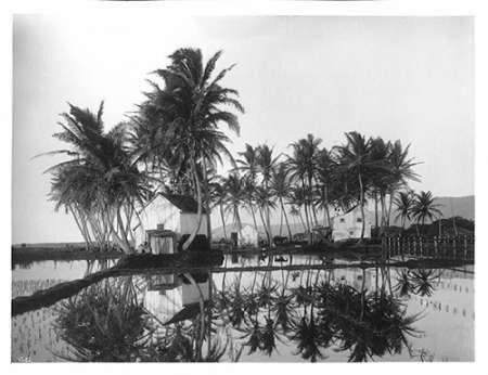 Palms, Hawaiian Rice Paddies, 1907