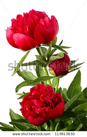 Flowers. Red Piones Isolated On White Stock Photo 113813830 : Shutterstock