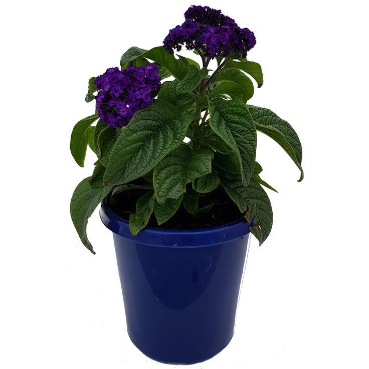 150mm Heliotrope Elite Midnight Blue Bunnings Warehouse Heliotrope Plants Midnight Blue