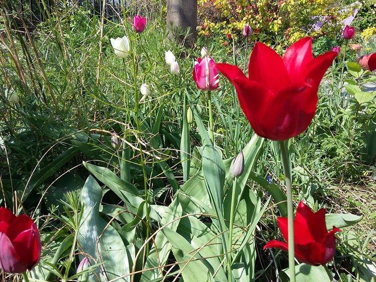 Tulipánok :)