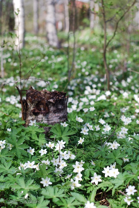 Wood anemones in the forest    (Photo: Kajsa Snickars)