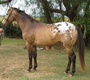 Buckskin Blanket Cha Appaloosa Cavalos