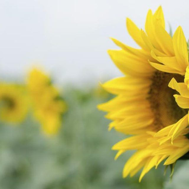 A close-up of a sunflower growing in a field.