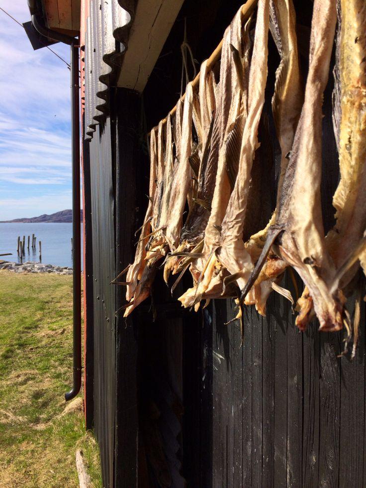 Svigerfar tørker fisk, forbereder lutefisk til jula 2014