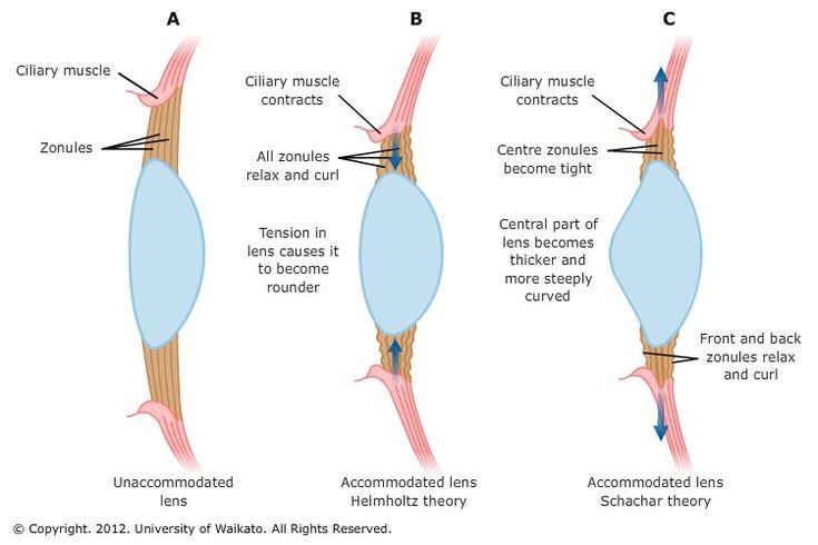 Eye anatomy lens